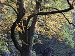 Morgenlicht in herbstlicher Kastanie, Aesculus sp.