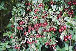 Eingriffeliger Weißdorn mit Beeren, Crataegus monogyna