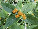 Heckenkirsche mit Beeren, Lonicera sp.