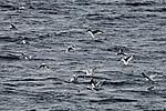Sturmmöwen beim Fischen, Larus canus