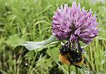 Dunkle Erdhummel an Wiesenklee, Bombus terrestris, Trifolium pratense