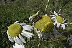 Gemeine Sumpfschwebfliege auf Wucherblume, Helophilus dendulus, Leucanthemum vulgare