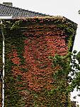 Wilder Wein im Herbst; Parthenocissus tricuspidata