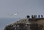 Naturfotografen und Baßtölpel auf Helgoland, Morus bassanus