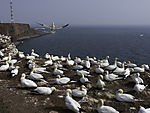 Baßtölpel-Kolonie auf Helgoland, Morus bassanus