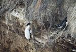 tote Trottellumme im Vogelkliff, Uria aalge