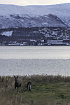 Elche vor Tromsö, Alces alces