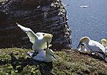 Northern Gannet mating, Morus bassanus