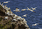 Northern Gannets on island Helgoland, Morus bassanus