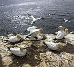 Baßtölpel auf Helgoland, Morus bassanus