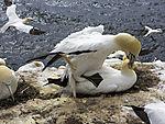 Baßtölpel Paarung, Morus bassanus