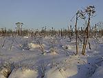 Hogweed in snow, Heracleum sp.