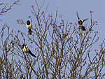 Magpies in Mountain Ash, Pica pica, Sorbus aucuparia