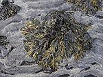 frost on Serrated Wrack, Fucus serratus
