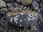 Barnacles on stone, Balanidae