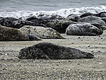 Grey Seals on beach of island Helgoland; Halichoerus grypus
