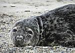 Kegelrobbe am Strand der Helgoländer Düne, Halichoerus grypus