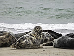 Grey Seal on beach of island Helgoland; Halichoerus grypus