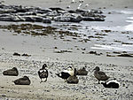 Eider Ducks and Grey Seals on beach of island Helgoland; Somateria mollissima, Halichoerus grypus