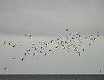 Schwarm Brandseeschwalben bei Helgoland, Sterna sandvicensis