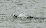 Grey Seals playing in water; Halichoerus grypus