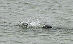 Kegelrobben spielen im Wasser, Halichoerus grypus