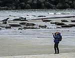 femal photographer with Grey Seals; Halichoerus grypus