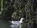 Herring Gull looking for food, Larus argentatus