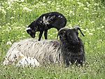 Lamm auf Rücken der Mutter