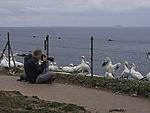 nature photographer and Northern Gannets, Morus bassanus