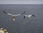 Northern Gannets in fligth, Morus bassanus