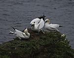 Northern Gannets aggression on, Morus bassanus