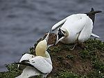 Baßtölpel Aggression am Nest, Morus bassanus