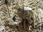 fishery nets in nest of Northern Gannet, Morus bassanus