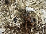 Netzreste im Nest eines Baßtölpels, Morus bassanus