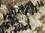 Guillemots on island Helgoland, Uria aalge