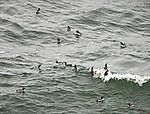 Trottellummen im Meer, Uria aalge