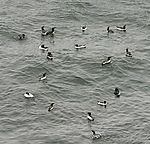 Guillemots in water, Uria aalge