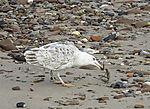 Seagull eats Crab