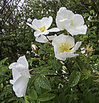 Dog Rose in rain