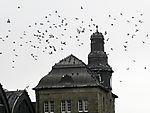 Stadttauben in Hamburg, Columbidae