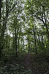 Buchenwald, Fagus sylvatica