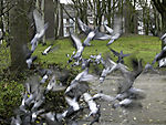 Tauben im Park Abflug, Columbidae