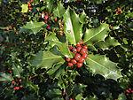 Gewöhnliche Stechhülse im Sonnenlicht, Ilex aquifolium