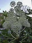 Rice Paper Plant blossom, Tetrapanax papyrifer
