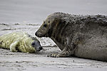 Grey Seal with new born pub, Halichoerus grypus