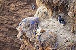 toter Baßtölpel im Vogelkliff auf Helgoland, Morus bassanus