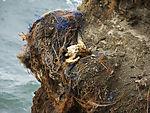 dead Northern Gannet in birdcliff on island Helgoland, Morus bassanus