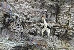 toter Baßtölpel und Trottellumme im Vogelkliff von Helgoland, Morus bassanus, Uria aalge