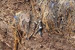 toter Baßtölpel auf Helgoland, Morus bassanus